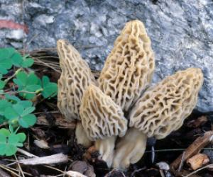 Morchella_deliciosa Mushrooms, Morchella