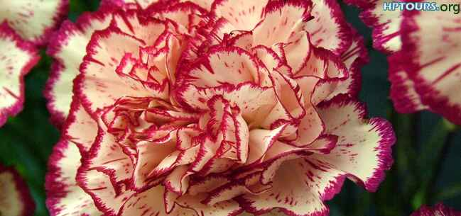 carnations flower Himachal Pradesh